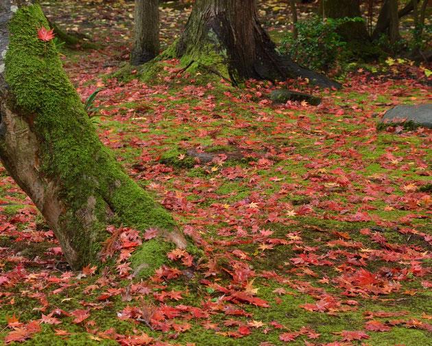 深 秋 緑苔と紅葉の庭