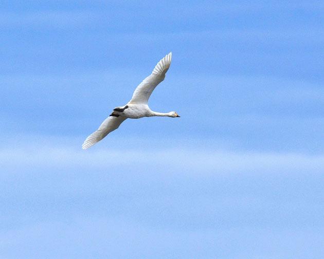 飛 翔 漂湖の主役 優雅に飛ぶ