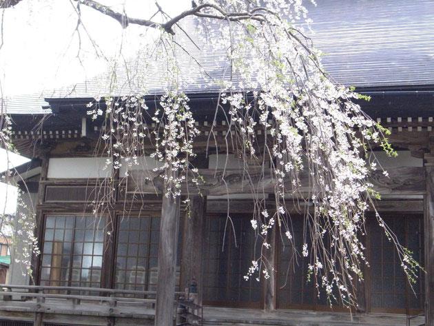 栄恩寺:桜の名所となった栄恩寺のしだれ桜 しっとりとして見るものを呼びますライトアップもきれいです