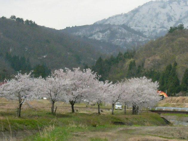 神宮寺山川沿い:南葉山を背景に桜が並ぶ 斐田線からもよく見える 桜見が終われば近くの日帰り温泉もあります