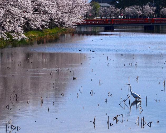 鷺も花見 上越高田、見事な桜花にサギ見入る