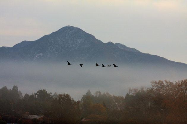 飛ぶ 夜明けとともに雁が渡り、秋は深まりゆく(米山山麓)