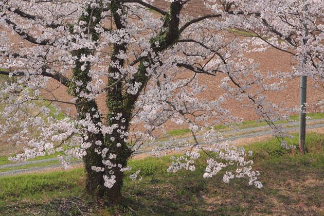 さくら 堤防に沿って植えられた満開の桜は、人々の目を楽しませる(大池いこいの森)