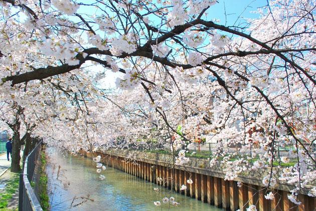 埼友草加病院近くの伝右川 2014/3/31