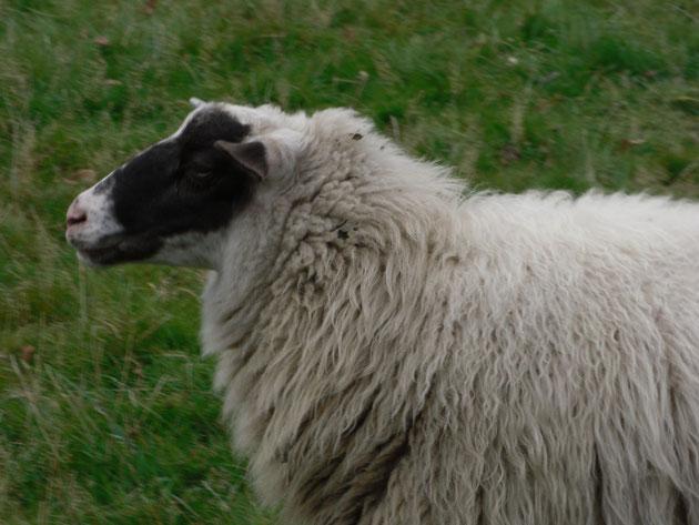 Carmen, ein ganz besonderes Schaf