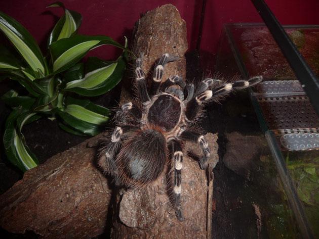 Leticia - Acanthoscurria geniculata