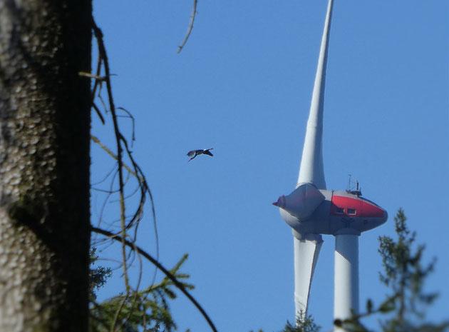 In gefährlicher Nähe: Schwarzstorch passiert beim Nahrungsflug Windkraftanlagen im Wald