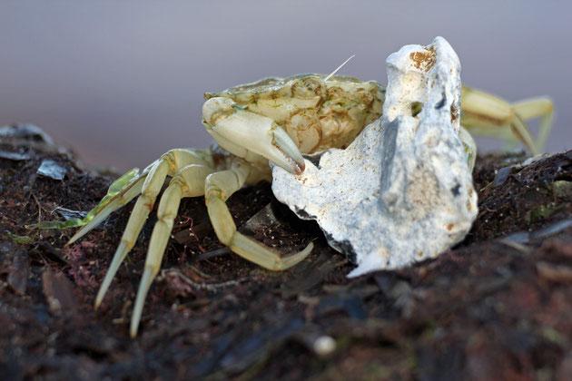 Krabbe 2