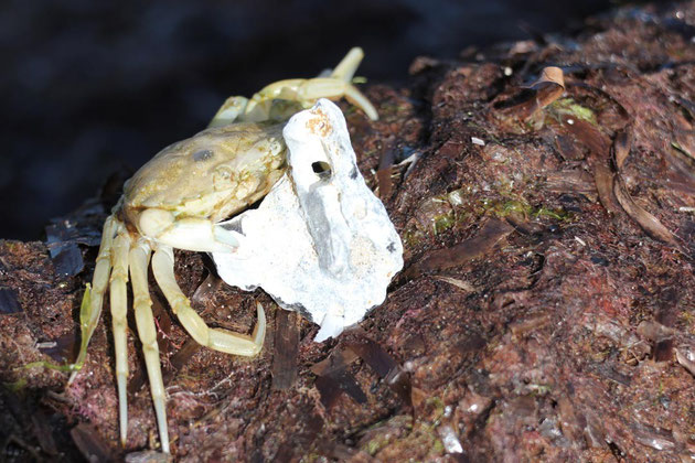 Krabbe 1