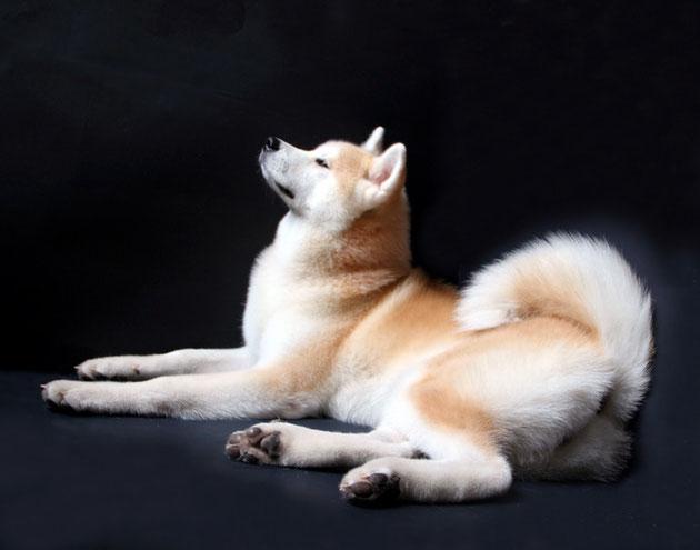 купить щенка акита, питомники акита, акита-ину, Акита -ину цена, купить щенка акита-ину в Крыму