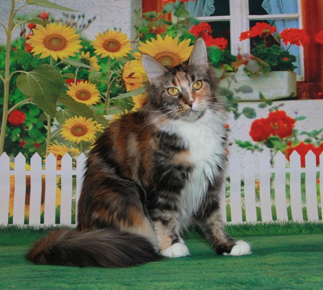 Кошка мейн кун биколорная черепаха.Продажа котят мейн кун.