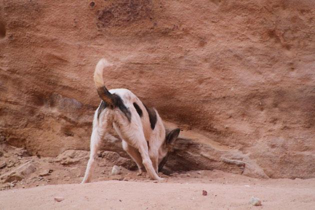 Der Stadthund von Petra.Hat er einen Schatz entdeckt?