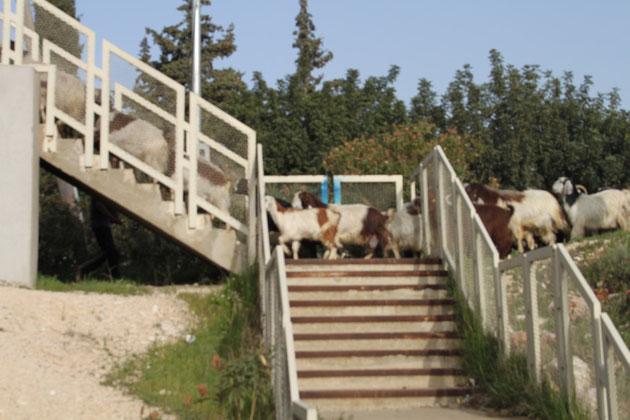 Ziegen-und Schafherden sind am äußeren Stadtrand keine Seltenheit.