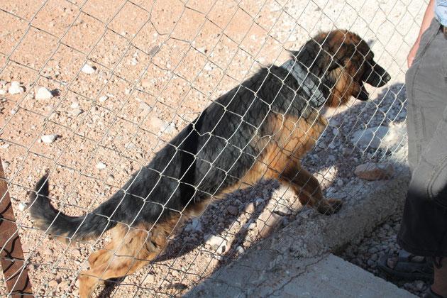 Der Wachhund-natürlich ein deutscher Schäferhund.