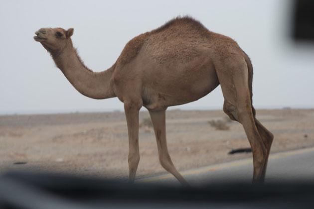Achtung freilaufende Kamele.Kann nachts sehr gefährlich werden.