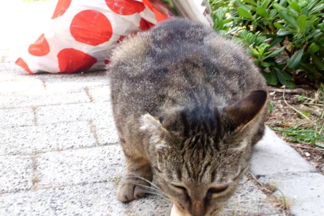 Unser liebes  Einohr,ein ganz liebes Kätzchen, was irgendwann mal ein Teil eines Ohres eingebüsst hat.