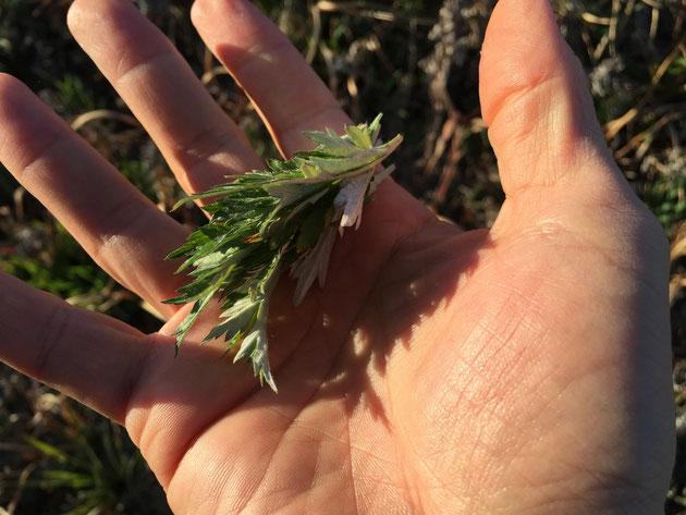 ヨモギの新芽を摘む。柔らかいのですぐ千切れます。