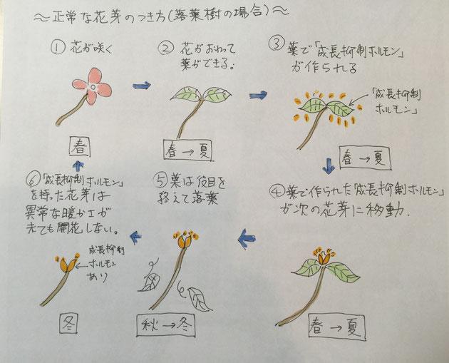 落葉樹の場合の正常な花芽のつきかた