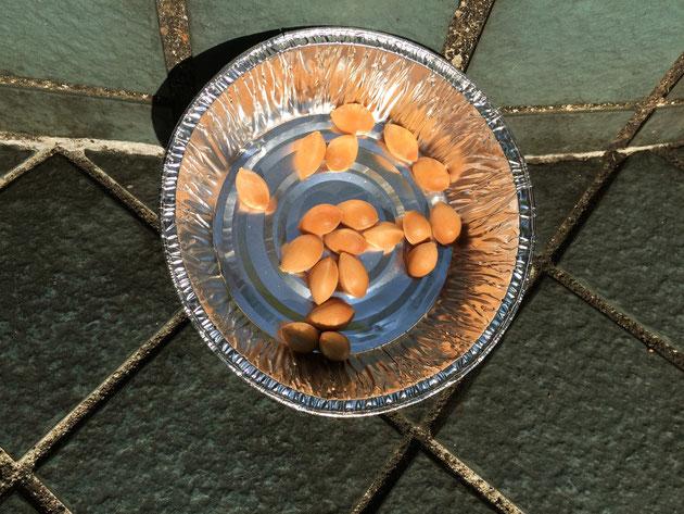 洗ったギンナンの実を天日で干す。確りと干すのがポイントのようです。