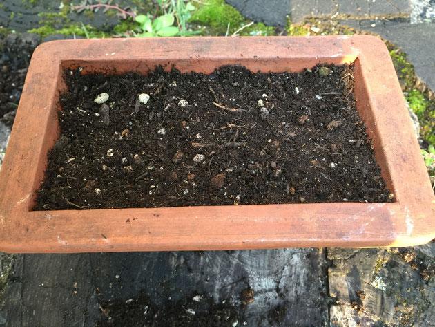 鉢に土が入ったら軽く手で押さえて全体を平面にする。