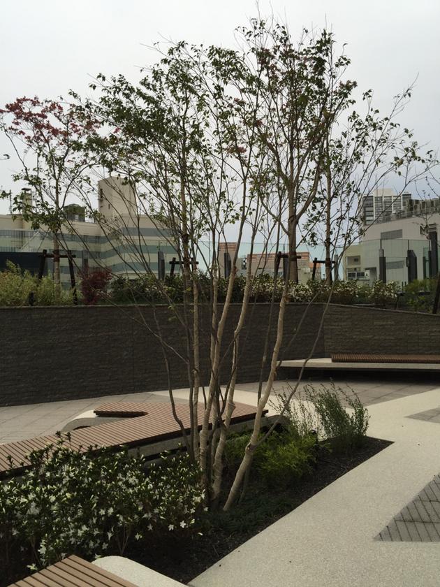 ハイノキ。常緑株立ち樹木。こんな環境でそだつのでしょうか?