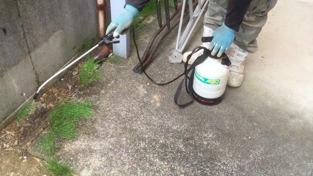 非常に厄介な雑草のスギナ。これはプロでも除草剤に頼らなければどうにもならない。
