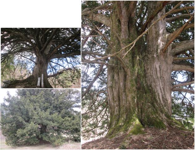 大東町 大原 大東 夫婦カヤ 巨樹 一関 大木 巨木 太い木