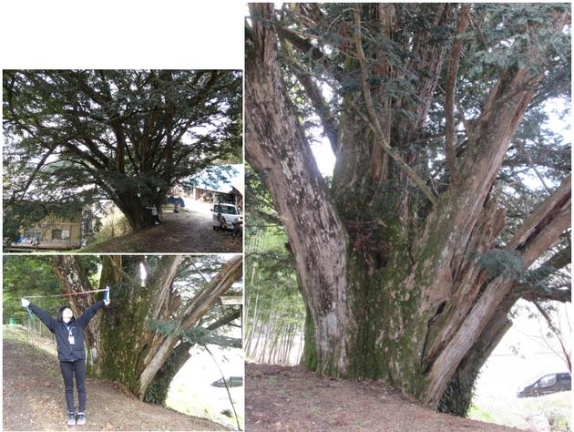 猿沢 箒カヤ ほうきカヤ 巨樹 一関 大木 巨木 太い木