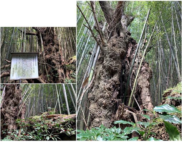 永井 花泉 天神角 サイカチ 巨樹 一関 大木 巨木 太い木