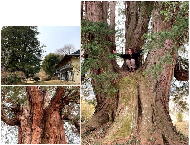 田茂木 室根 巨樹 イトヒバ 一関 大木 巨木 太い木