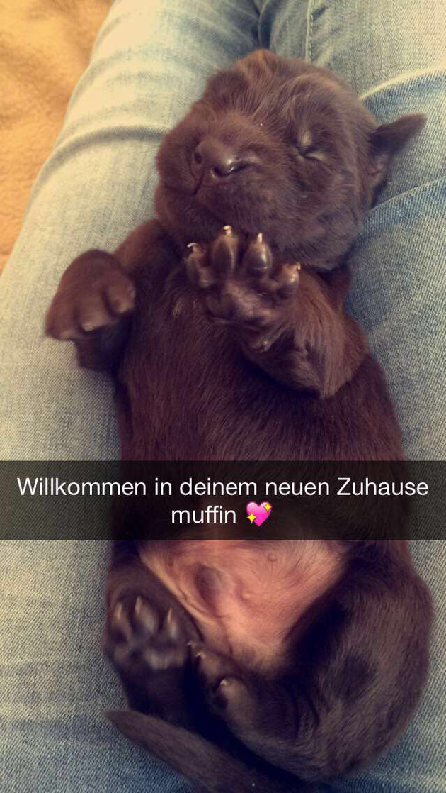 Flat Coated Retriever Deckrüde Deckruede braun Muffin Pudel Hund decken Rüde Ruede Zucht Labradoodle Flatdoodle Grosspudel
