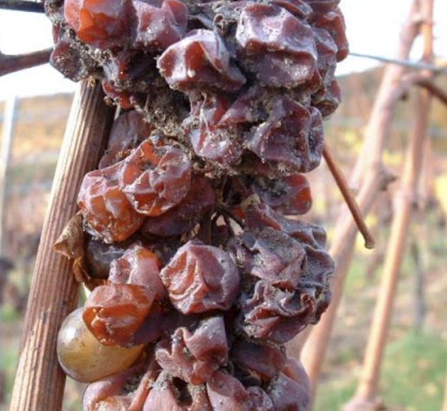 Certaines années, le développement du Botrytis cinerea sur les baies favorise un phénomène d'évaporation et de concentration en sucre et en arômes, apportant moelleux et puissance permettant de produire des Sélections de Grains Nobles.