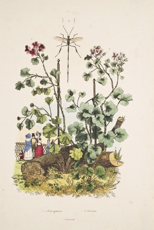 Les Pélargoniums connaissent un grand succès en Europe  à partir du début du XIXe siècle
