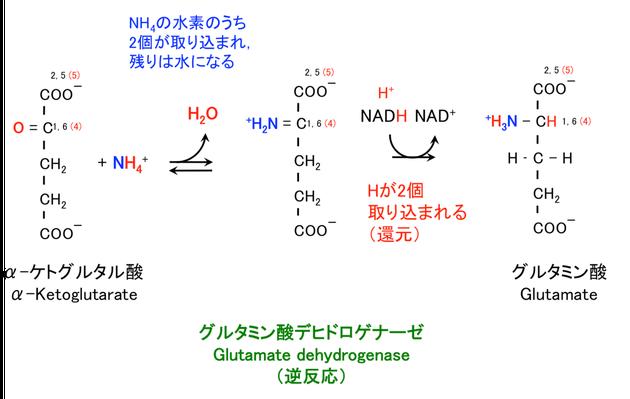 グルタミン酸の生合成