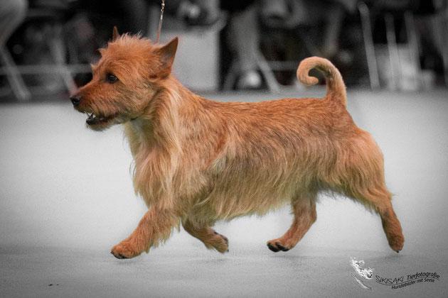Australian Terrier Hobbit von den Grauen Anfurten