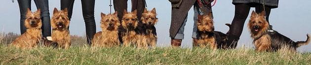 Der fast komplette Australian Terrier  H-Wurf von den Grauen Anfurten mit Mutter Unity Maol-Cu und Vater Gentle Jack Sparrow