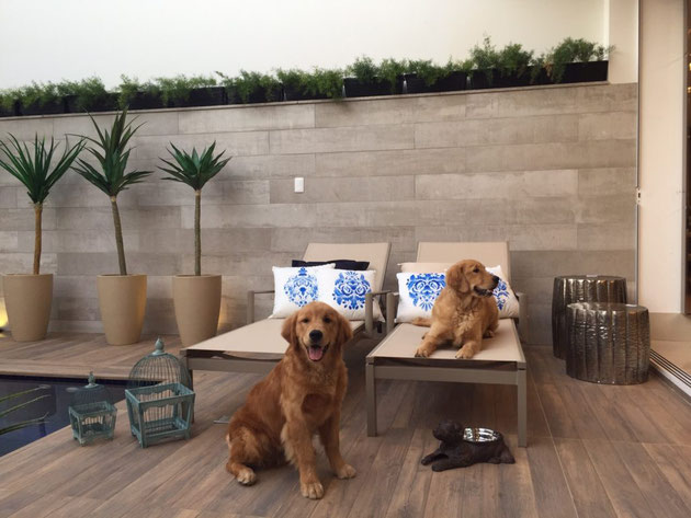 Poolside scene with two golden retrievers lounging on pool chairs. There are potted palm trees and potted plants on a tiled retaining wall.