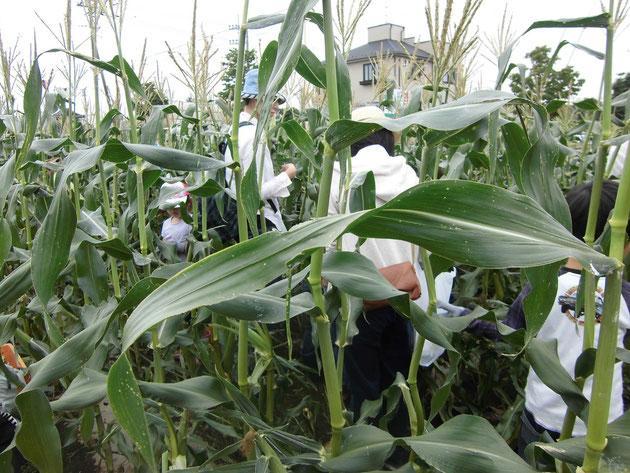トウモロコシ収穫体験イベントでの畑の様子