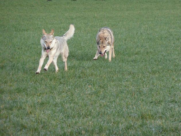 Caandy II od Uhoste und Whispering Wolf Beren, unsere Beiden beim Spiel auf einer Wiese im Moor
