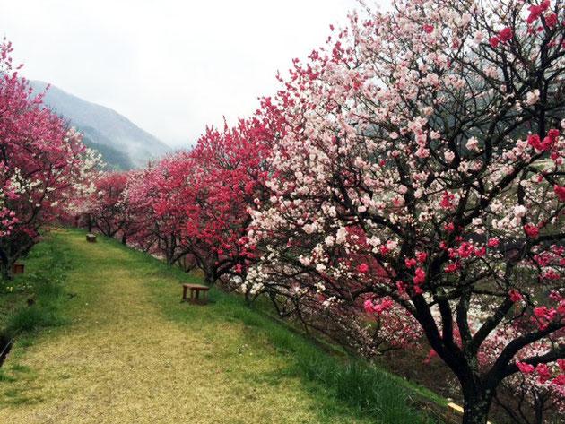 月川温泉横の花桃