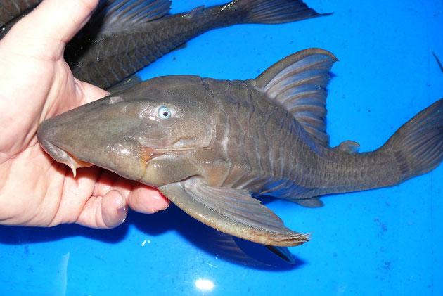 """Panaque cochliodon """"Suttoni"""", 33+34+36 cm, AQ650R"""