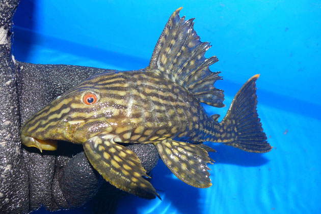 L330 Panaque, 18 - 20 cm , full+half spotted, AQ6
