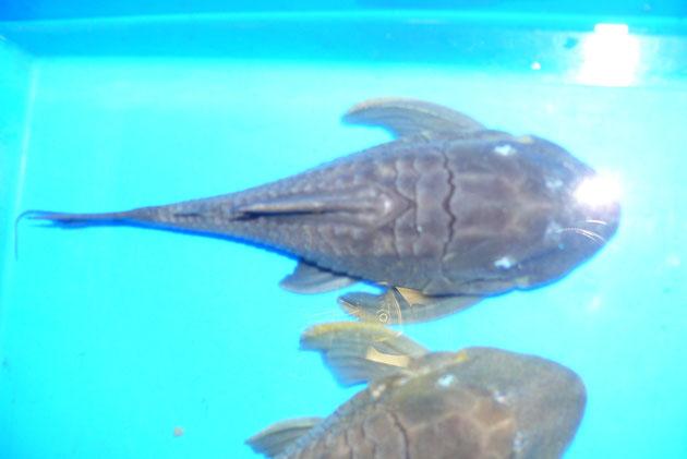 """Panaque cochliodon """"Suttoni"""", 23+26 cm AQ2, 28+38 cm AQ5"""