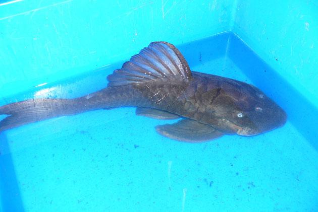 """Panaque cochliodon """"Suttoni"""", 41 cm, AQ650R"""