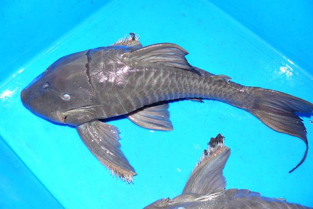 """Panaque cochliodon """"Suttoni"""", 39+41 cm, AQ8"""