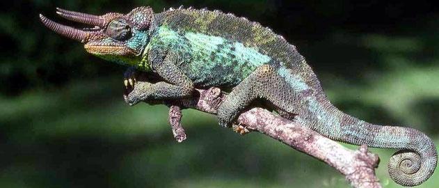 Camaleonte di Jackson (Trioceros jacksonii jacksonii)