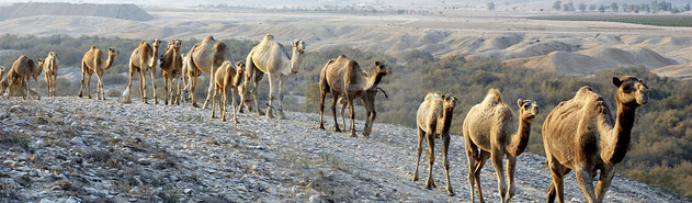 Dromedari - (Camelus dromedarius)