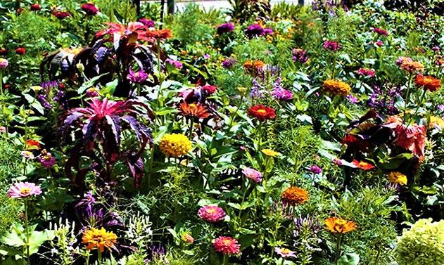 これは、春まき(夏~秋咲き)の姿です。広い所にびっしり植えると、こうなります。