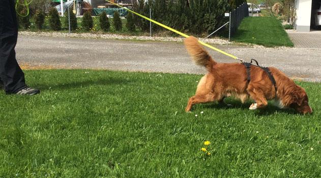 Zuzwil,  Fun Mantrail, Thurgau, Ostschweiz, Fun Mantrailing, Spürhund, Suchhund,Hundeschule Mantrailing aktiviert den Hund und sorgt für eine natürliche Auslastung,Spass und Beschäftigung.