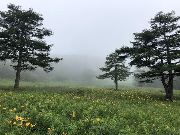 霧のゲレンデ。ニッコウキスゲ?(植物名はすべて自信のない推測です)